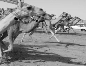 Dubai camel racing calendar 2019