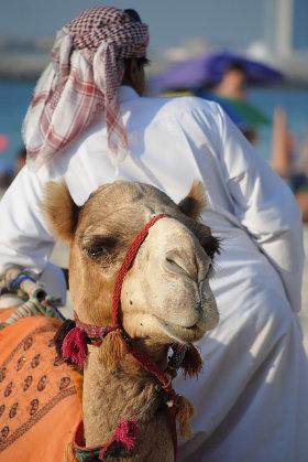 camel racing dubai betting advice
