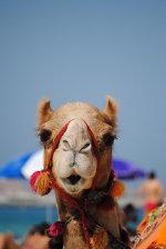 Dubai camel racing live