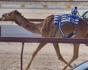 نادي دبي لسباقات الهجن