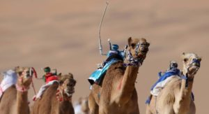 camel racing track